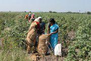 Monsanto, mit Gift und Genen